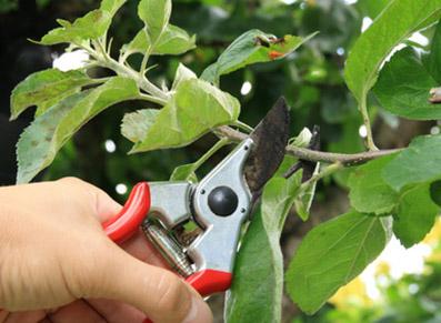 Tailler ses arbres fruitiers : la garantie d'une récolte abondante
