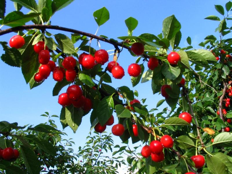 Tailler ses arbres fruitiers la garantie d une r colte - Vivero la rosa del norte ...