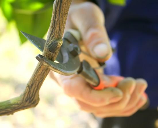 taille arbre fruitier secateur
